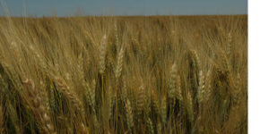 Give U.S. Wheat Farmers the Freedom to Compete