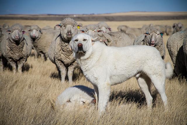 KANSAS JANUARY 1 SHEEP AND GOAT INVENTORY