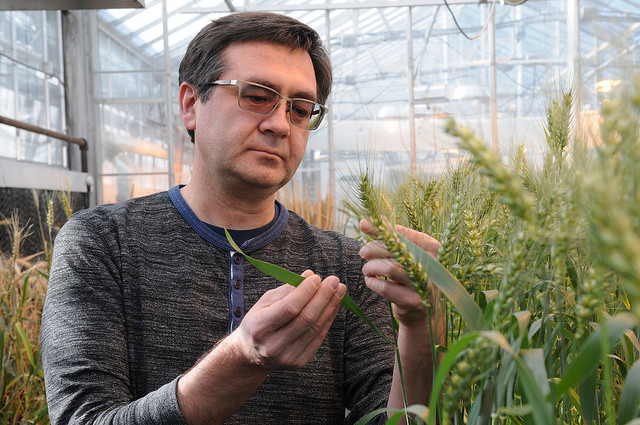 Kansas State University researchers using gene-editing technology to improve wheat