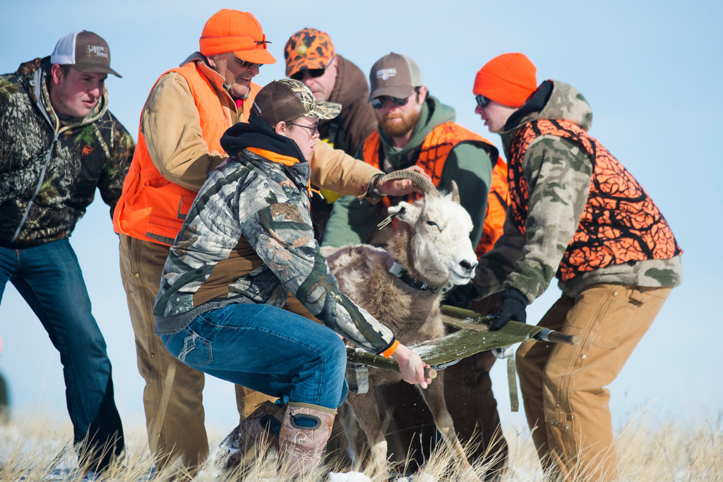 Nebraska bighorn sheep receive new monitoring devices