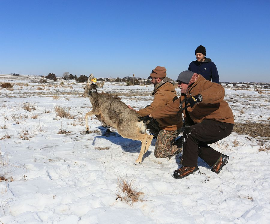 (VIDEO) Mule deer in southwest Nebraska receive monitoring devices
