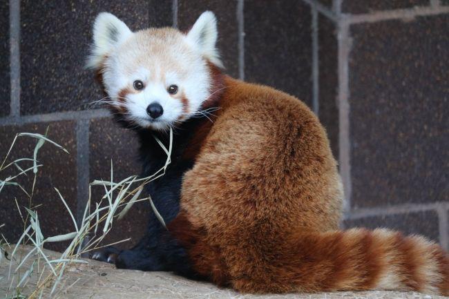 Omaha zoo puts red panda on display ahead of schedule