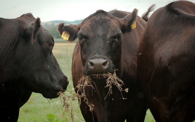 Effort to feed seaweed to burping cows gets research boost