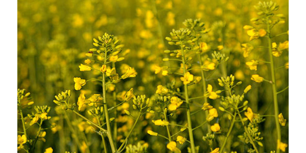 Canola informational meeting March 6