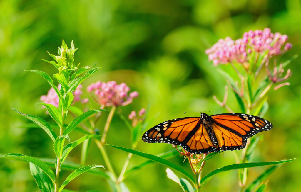 WANTED: BASF seeks farm families to help preserve monarch habitats