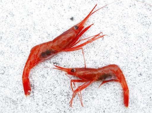Minnesota farmers try raising shrimp