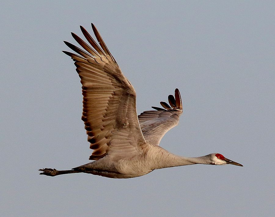 Game & Parks Commission: Experience this year's sandhill crane migration