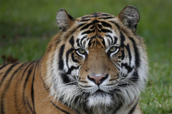 Lincoln zoo getting 2 endangered Sumatran tigers