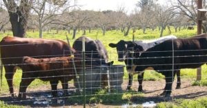 Water troughs key to E. coli contamination in cattle