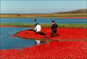 Cranberries Targeted by EU in Trade Spat