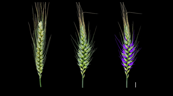 Wheat discovery yields genetic secrets