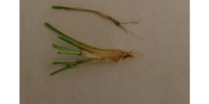 Evaluating your winter wheat and rye stands