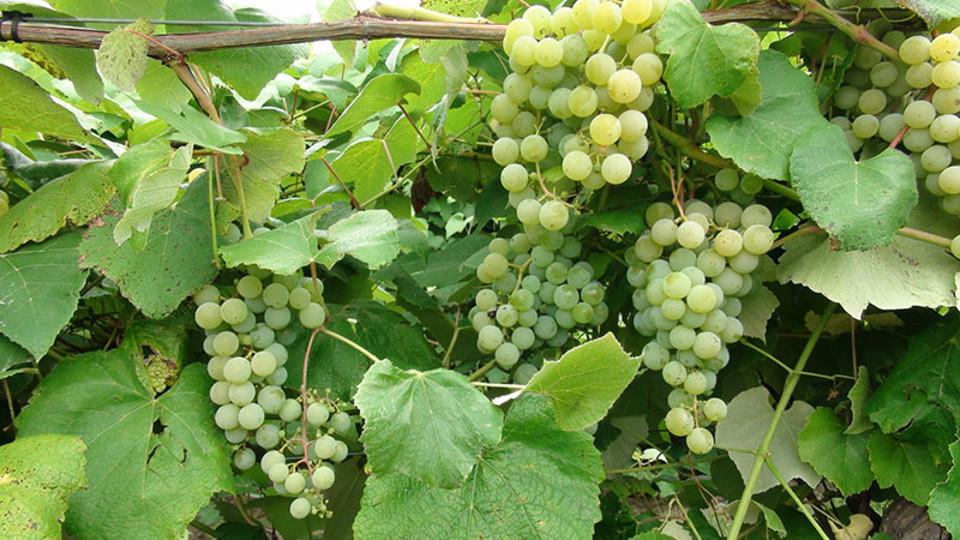Husker researchers explore ways to use grape waste