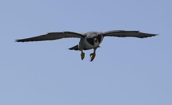 Nebraska Capitol's peregrine falcons move up to higher home