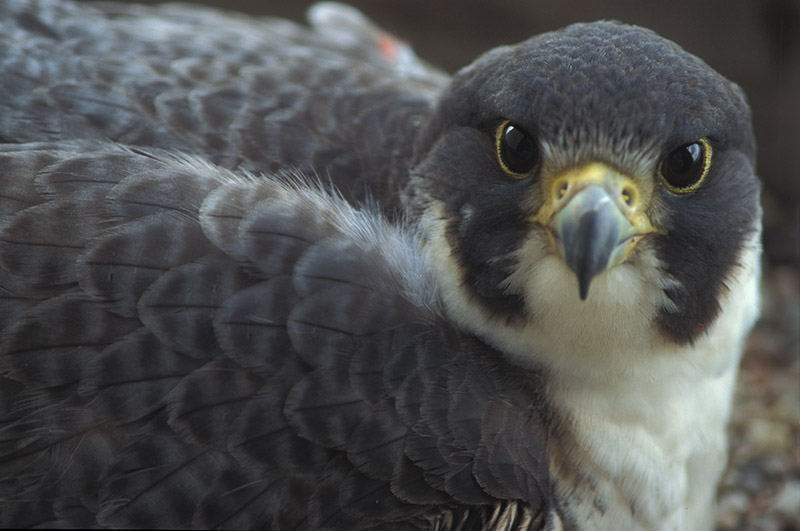 Nebraska Capitol's peregrine falcons move up to higher home