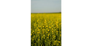 Winter canola featured at K-State field days