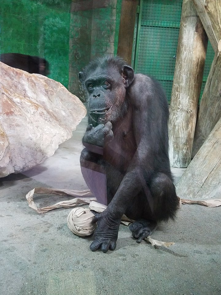 RDC mourning loss of Sarah the Chimpanzee