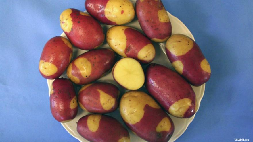 A spud is born: UMaine unveils gourmet 'Pinto Gold' potato