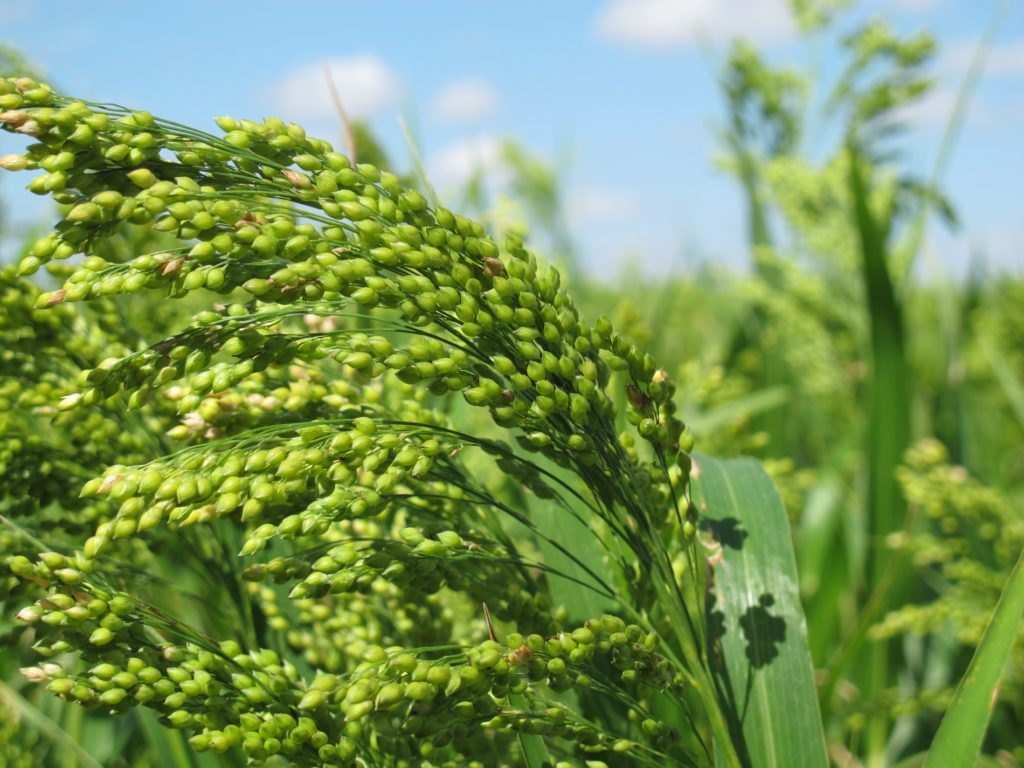 Third International Symposium on Broomcorn Millet to be held in Colorado