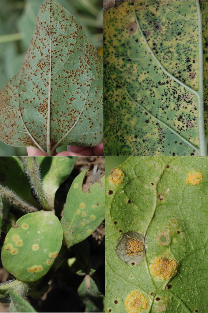 PANHANDLE PERSPECTIVES: Sunflower rust may be problematic in 2018 – be aware