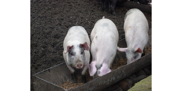 Breakthrough will help lower cost of pig diets
