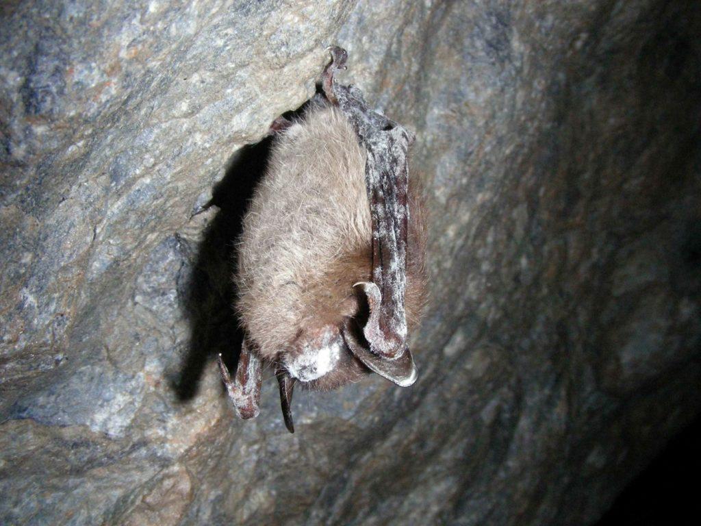 Wyoming's First Bat fungus found in Goshen County