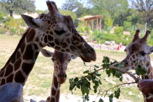 Omaha's Henry Doorly Zoo and Aquarium to celebrate World Giraffe Day
