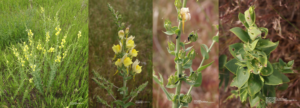 Dalmation Toadflax – invasive species in western Nebraska