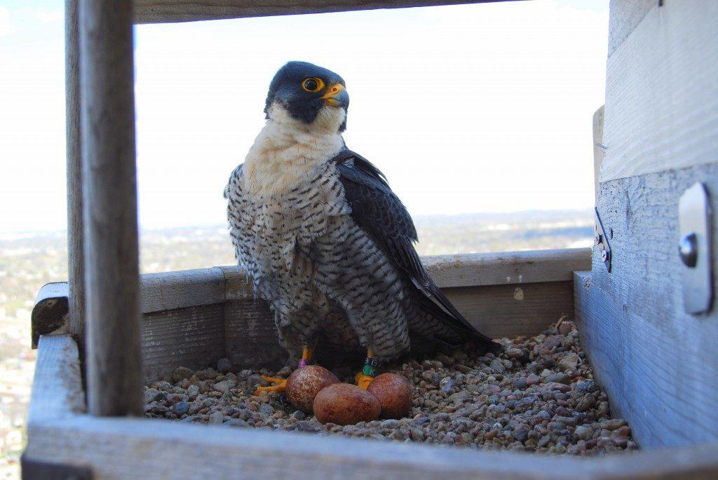 Capitol peregrine falcons' second nesting attempt fails