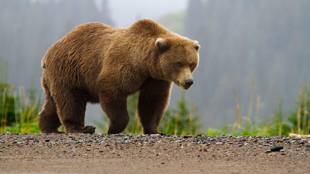 Grizzly bear advocates aim to buy hunting licenses