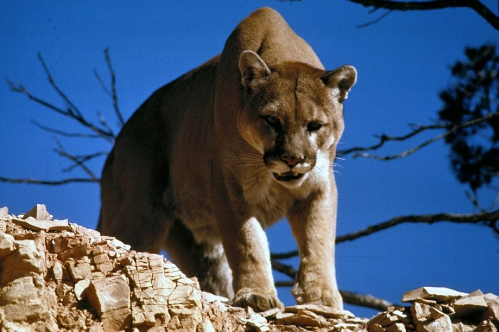 Nebraska hunts down, kills mountain lion that killed goat