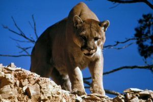 Mountain lion killed north of Hay Springs