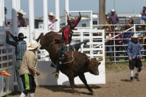 Wyoming Bull Breeders Provide Mini Bulls for Young Riders