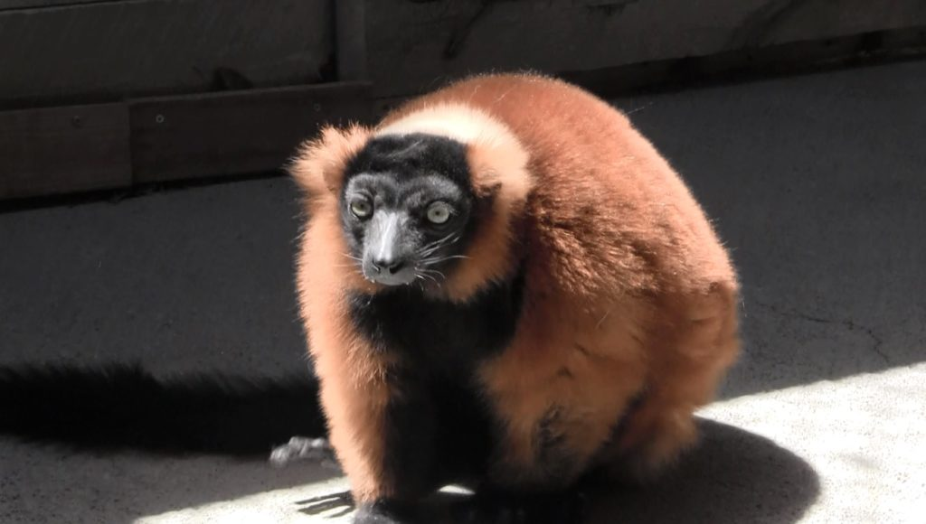 Red-Ruffed Lemurs on display starting Friday at RDC Zoo
