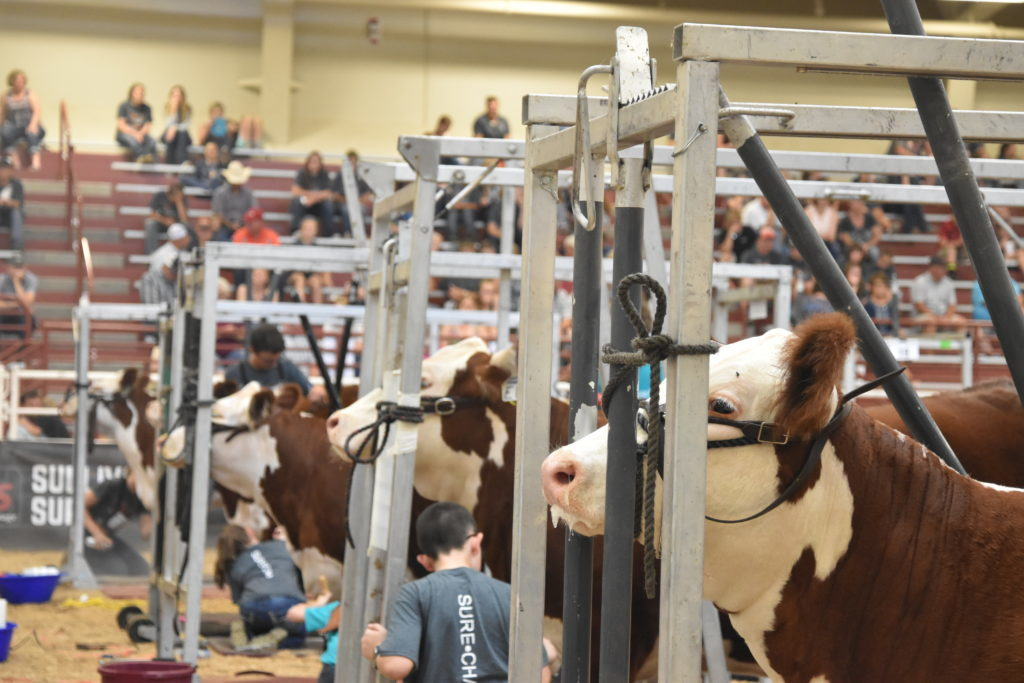 (VIDEO) Junior National Hereford Expo Underway in Grand Island