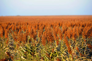 China Makes Second Purchase of U.S. Sorghum