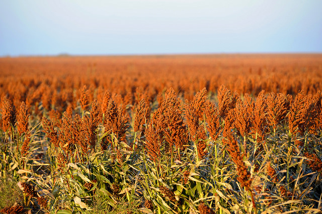 China Purchases U.S. Sorghum