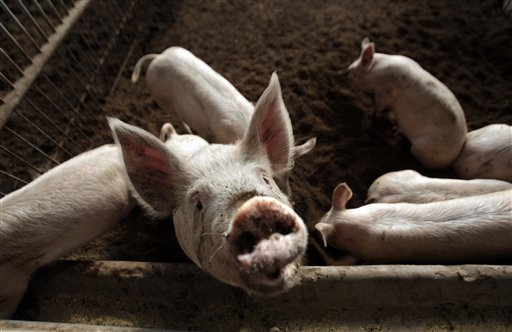 Heavily pork-reliant China battling African swine fever