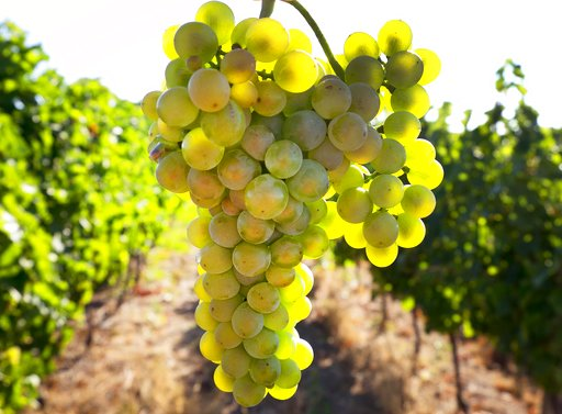 Germany launches earliest grape harvest yet amid heat wave