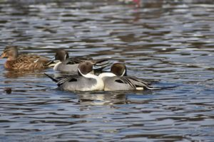 Report shows numbers of ducks remain high for 2018