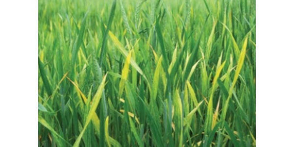 Control volunteer wheat to stop WSMV