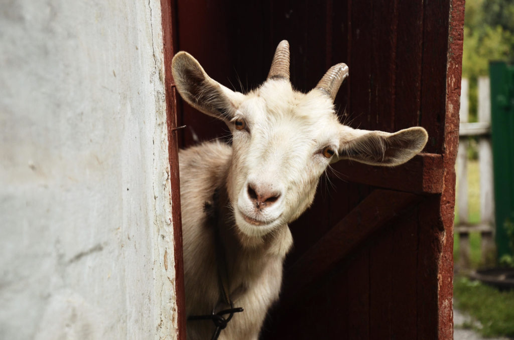 State park uses goats to attack invasive weeds