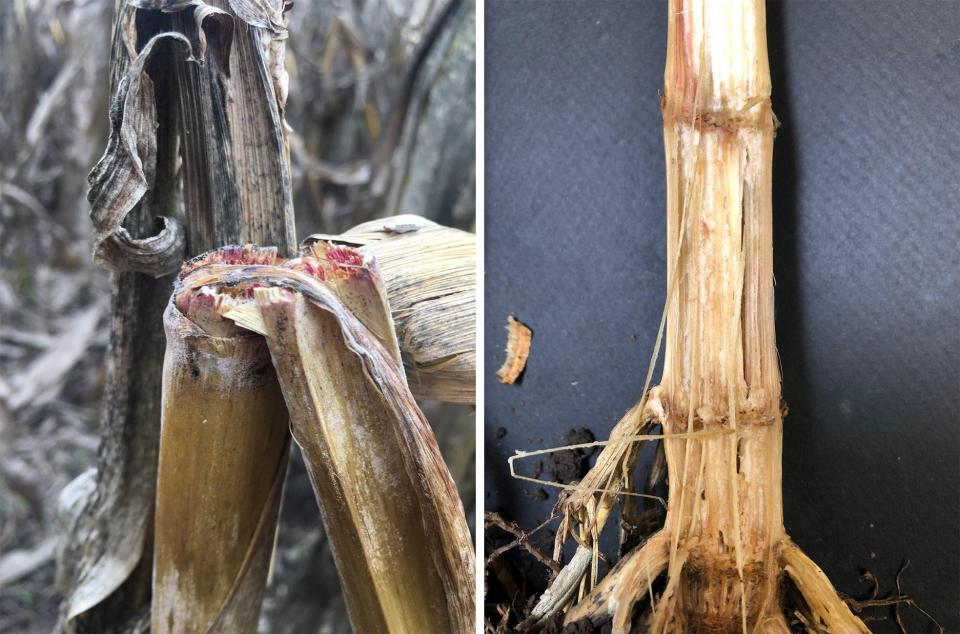 Stalk Rot Diseases in Nebraska Corn Fields