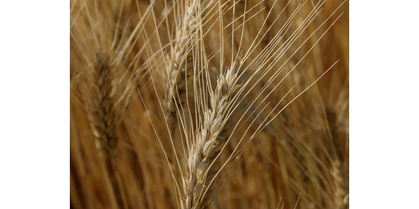 Help Us Help Farmers: Support Wheat Research