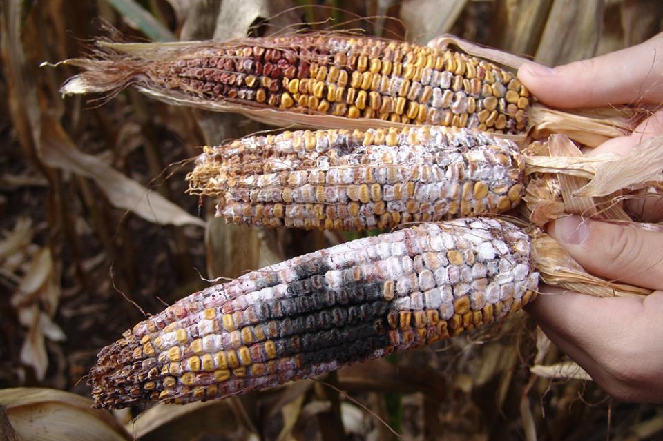 Stalk and Grain Quality Likely to Decline During Wet Weather