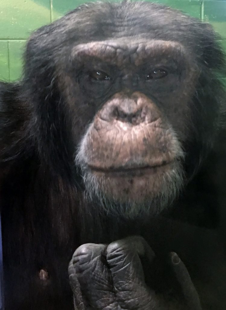Longtime Riverside Discovery Center chimpanzee heading to Houston