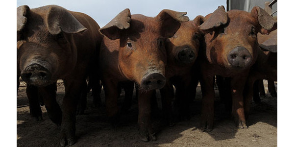 Study finds larger pigs still means tender pork