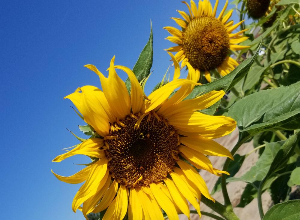 The Sunflower Pathology working group
