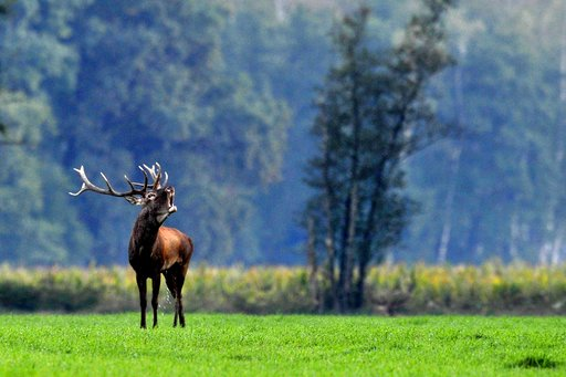 Dutch court clears the way for deer cull in nature reserve