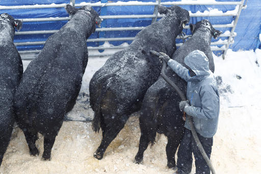 Scrotal Frostbite Can Affect Bull Fertility